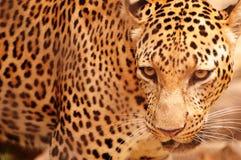 Leopard portrait Royalty Free Stock Image