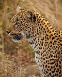 Leopard portrait Stock Photography