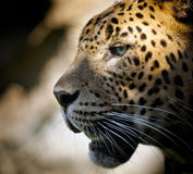 Leopard portrait royalty free stock photos