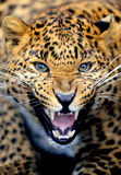 Leopard portrait Royalty Free Stock Photography