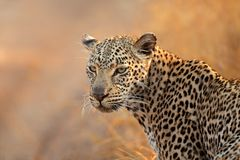 Leopard portrait Stock Photo