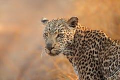 Leopard portrait. Portrait of a leopard (Panthera pardus), South Africa Stock Photo