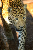 Leopard portrait Royalty Free Stock Image