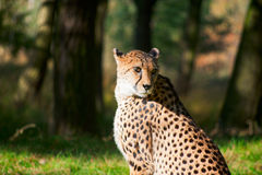 Leopard portrait Stock Images