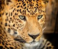 Leopard portrait royalty free stock photography