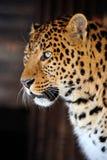 Leopard portrait stock photo