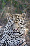 Leopard portrait. Portrait of a leopard looking straight at the camera Royalty Free Stock Photo