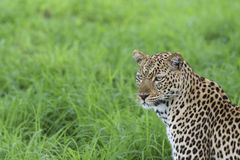Leopard portrait against green background Stock Photo