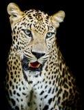 Leopard portrait Stock Images