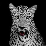 Leopard portrait. Animal wildlife black color background Royalty Free Stock Photo