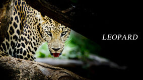 Leopard portrait. Animal wildlife green and black color background Stock Photos