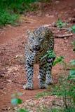 Leopard portrait Stock Photography