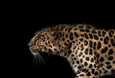 Leopard portrait on black Royalty Free Stock Image