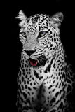 Leopard portrait. Closeup animal wildlife black color background Royalty Free Stock Image
