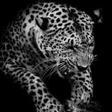 Leopard portrait Stock Photos