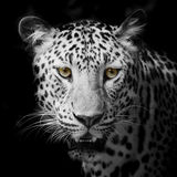 Leopard portrait. Closeup face Leopard portrait animal wildlife on black background Royalty Free Stock Photography