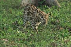 Leopard.  Stock Photos