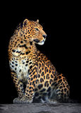 Leopard portrait on dark background Royalty Free Stock Photo