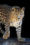 Leopard portrait on dark background. Close-up leopard portrait on dark background Royalty Free Stock Photography