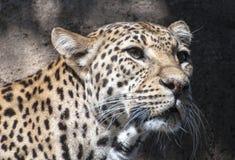Leopard Portrait Stock Image
