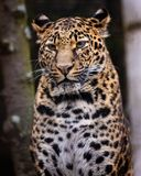 Leopard. royalty free stock photo