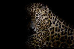 Leopard portrait isolate on black background Royalty Free Stock Photo