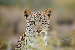 Leopard portrait, Kalahari desert, South Africa. Portrait of a leopard (Panthera pardus), Kalahari desert, South Africa Stock Photo