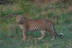 The leopard portrait Stock Image
