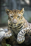 Leopard portrait. In nature royalty free stock images
