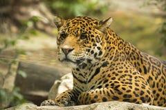 Leopard portrait. The Persian leopard (Panthera pardus ciscaucasica syn. Panthera pardus saxicolor), also called the Caucasian leopard or Central Asian leopard Stock Photo