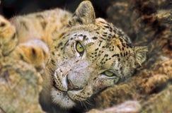 Leopard portrait. Stock Photo