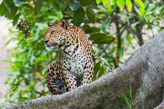 Leopard. Portrait of a Leopard in the wild habitat royalty free stock images