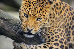 Leopard. Portrait of a Leopard in the wild habitat Stock Photos