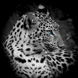 Leopard portrait. In the zoo Stock Photos