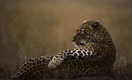 Leopard posing Royalty Free Stock Photos