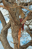 Leopard with prey Royalty Free Stock Image