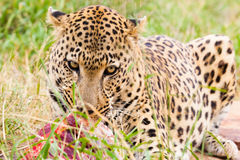 Leopard with prey Stock Image