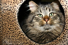 Leopard print cat. Siberian brown tabby cat in a leapard print box Stock Photo