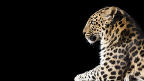 Leopard profile banner. Close up profile of a leopard on a black background with room for text Royalty Free Stock Photography