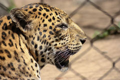 Leopard In Profile Royalty Free Stock Images