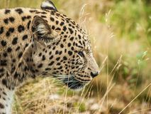 Leopard 2. A quiet leopard in tall grass stock image