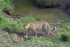 Leopard by Ravine. Mother Leopard guards her baby next to the ravine Royalty Free Stock Photos