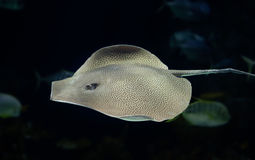 Leopard ray. Swimming in the deep Royalty Free Stock Photography