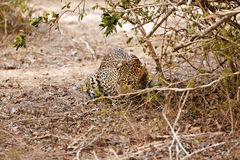 Leopard ready for attack. Leopard hide oneself and ready for attack Royalty Free Stock Photos