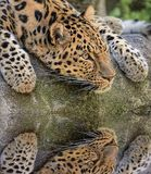 Leopard reflecting. royalty free stock images