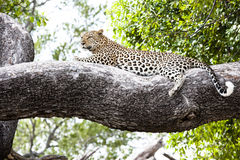 Leopard relaxed lying on a huge branch, Botswana, Africa royalty free stock photo