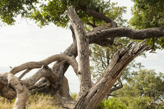 Leopard relaxed lying in a tree stock photography