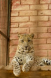 Leopard relaxing Stock Image