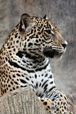 Leopard relaxing. Stock Image