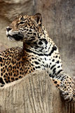 Leopard relaxing. Royalty Free Stock Photo
